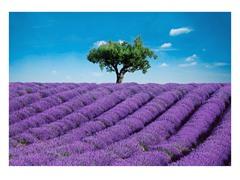 Provence Wall Mural