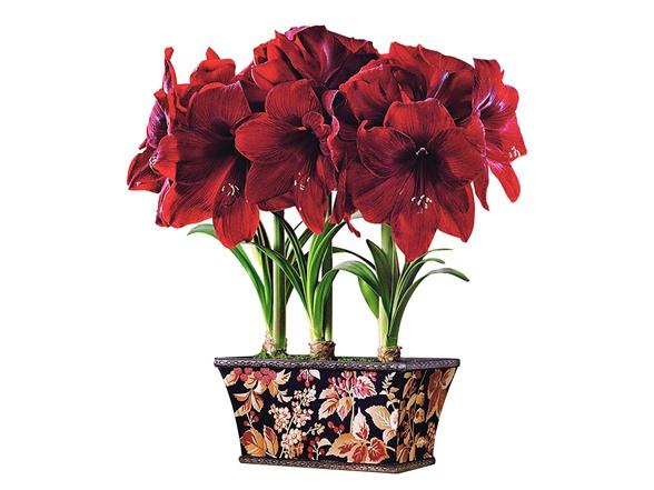 Amaryllis triple bulb gift box for Amaryllis planter bulbe
