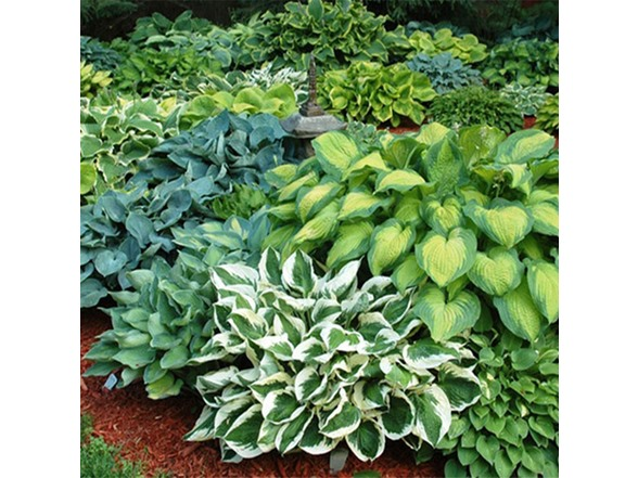 Hosta Bare Roots Your Choice