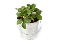 Eversweet Strawberry Pot