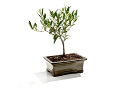 Bonsai-Tuscan Miniature Olive Tree