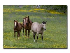 Horses in a Field by Cary Hahn