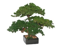 Triple Monterey Bonsai