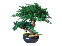 Jin Bonsai