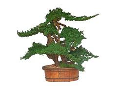 """36"""" Vintage Bonsai"""