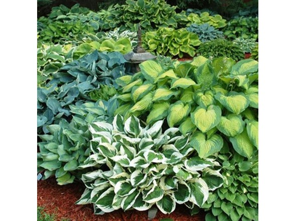 Hosta Perennial Mixed Plants