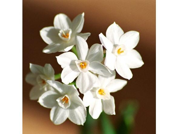 Fragrant paperwhite flowers 9 pack mightylinksfo